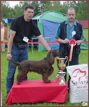 A Brown Field Spaniel is being posed on a platform behind Three trophies. There is a person wearing a fanny pack holding the its tail and chin up. There is another person behind it holding a red and white ribbon. There is a green and blue tent set up in the background.