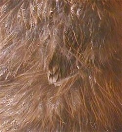Close Up - Brown feathers of a keet growing out of the fuzz