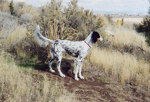 A black and white with tan Llewellin Setter is standing in dirt and is surrounded by tall brown grass with a sandy beach in the distance.