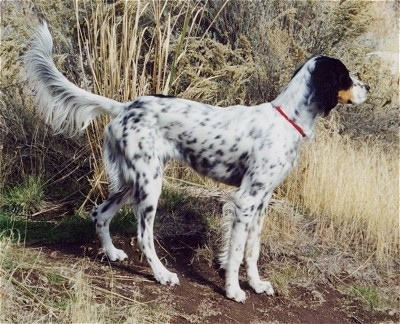 Right Profile - A white, tan and black ticked Llewellin Setter is standing in dirt next to tall brown grass.