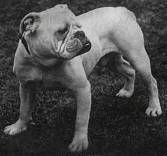 A black and picture of the front left side of a white Bulldog that is standing in a yard and it is looking to the right.