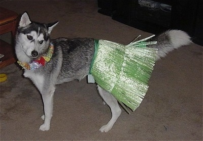 A gray and white Alaskan Husky is standing in a house and wearing a shiny green Hula skirt and an elastic flower Hawaiian necklace
