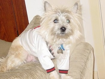 Barkley the tan Cairn Terrier is sitting on the back of a couch and wearing a long sleeve white and red shirt