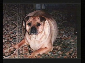 View from the front - a fat, tan with black Ori Pei is laying on a green and tan orential rug looking forward. the dog has small rose ears and a big body compared to its head.