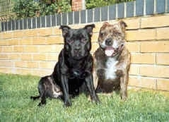 Two thick, muscular, wide-chested, Staffordshire Bull Terriers are sitting in grass and they are looking forward.