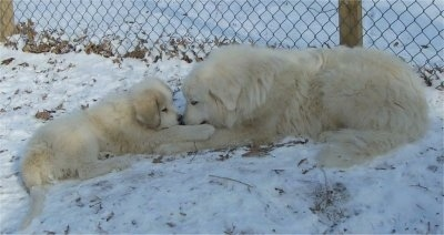 Great Pyrenees - Tundra the adult dog and Tacoma the puppy laying head to head in the snow looking like great friends