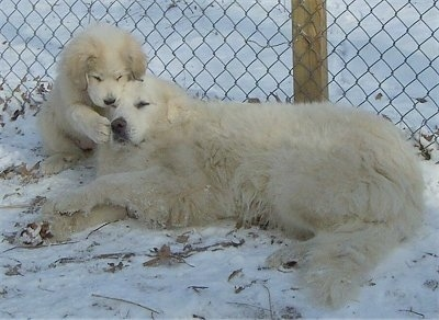Great Pyrenees - Tundra the adult dog laying down in snow as Tacoma the puppy gently paws at his face