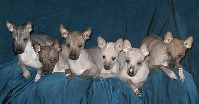 A litter of various shades of gray hairless Xoloitzcuintli puppies are laying across a couch covered in a blue blanket. They all have perk ears and black noses.