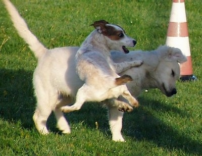 A white with tan and brown Jack Russell Terrier dog has all four paws off of the round as it jumps at the side of a tan puppy in grass. There is an orange and white cone behind them.