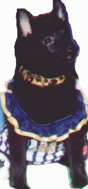 Teddy the black Schipperke is sitting down wearing an Irish dance dress and a brown and black leopard collar.