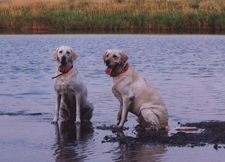 Two Labrador Retrievers are sitting in water