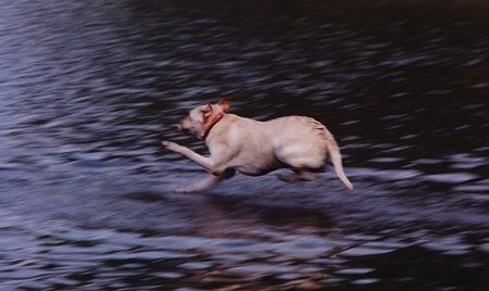 Clifford the Yellow Labrador Retriever is about to land in a body of water