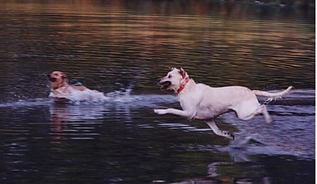 Clifford the Yellow Labrador Retriever is in mid-air jumping into a body of water and another dog is already swimming in water