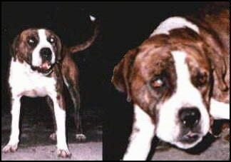 Left Photo - A wide-chested, muscular, large headed, brown and white Vucciriscu dog standing on a rug and it is looking forward. Right Photo - Close up - A brown and white Vuccirisu dog has its head level with its body and it is holding its head low. The dog has a big black nose and black lips.