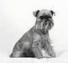 A black and white photo of a Brussels Griffon that is sitting on a white backdrop and it is looking forward.