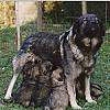 A black with grey Krasky Ovcar is standing outside and under her is a litter of puppies.