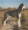 Right Profile - A black with white Alaskan Husky is standing on a rock and it is surronded by grass. It is looking to the rock.