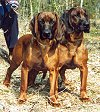 Two brown with black Bavarian Mountain Hounds are standing in grass and they are looking forward. There is a person behind them.