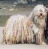 A tan with white and black corded Bergamasco Sheepdog is standing on a rock and it is looking forward.