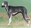 A black with white Caravan Hound is standing in grass and it is looking to the left. There is a green wall behind it.