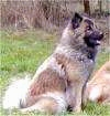 The right side of a grey, tan and white Eurasier is sitting in grass and looking to the right.