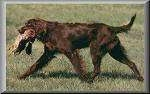 A chocolate German Longhaired Pointer is walking across a field and it has a pheasant in its mouth.