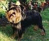 A black with tan Griffon Bruxellois is standing in grass and it is looking forward. Its head is slightly tilted to the right.