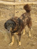 A black and brown with tan Himalayan Chamba Gaddi Dog is standing in dirt. Its head is down and its mouth is open.