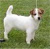 The right side of a white with brown Jack Russell Terrier is looking forward.