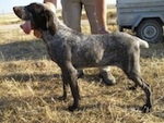 Spanish Pointer standing outside in the brown grass