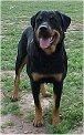 A black with tan Roman Rottweiler is standing in patchy grass and it is looking forward. Its head is up, its mouth is open and its tongue is out.