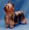 A black with brown Silky Terrier is standing on a blue surface and it is looking up and to the left.